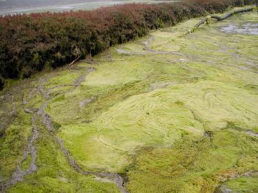 Excess Nutrients Threaten Elkhorn Slough Ecosystem