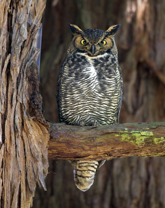 fledging season for owls means clumsy on the ground