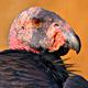 condor head