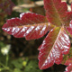 poison oak leaves and urushiol structure