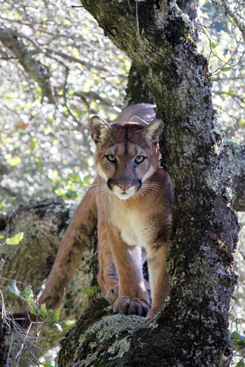 Puma tracking in Santa Cruz Mountains reveals impact of