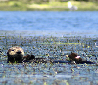 Image of: Wonderopolis Sea Otters Promote Recovery Of Seagrass Beds