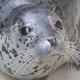 Amak, a young spotted seal