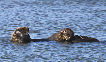 Image of: Funny Junk Californias Sea Otter Numbers Holding Steady