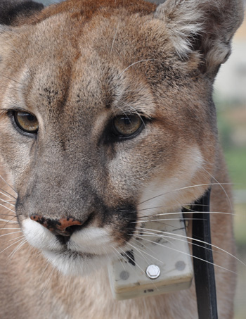 cougar-collar-350.jpg