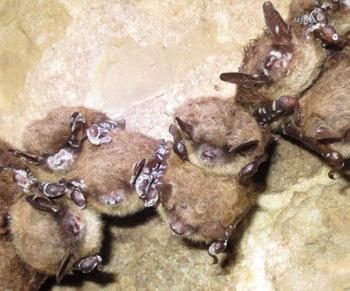infected-bats-350.jpg