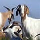 Goats to begin clearing ground for Coastal Biology building project.