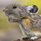 Shrinking range of pikas in California mountains linked to climate change