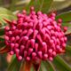 Telopea flower