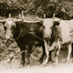 A photo of an ox team on the former Cowell Ranch