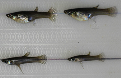 Female mosquitofish (top row) are larger than males and often display a distended abdomen due to pregnancy (mosquitofish are live-bearing fishes). Males are smaller, thinner, and characterized by an elongated gonopodium. (Photo by David Fryxell)