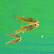 underwater photo of mosquitofish