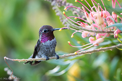Uc Santa Cruz Arboretum Holds Annual Hummingbird Days