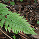 coastal woodfern frond