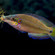 male ocellated wrasse