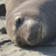 Phyllis the elephant seal (NMFS permit No. 19108)