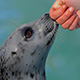 ringed seal touching hand