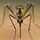 Aedes atropalpus