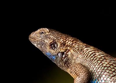 lizard-400.jpg