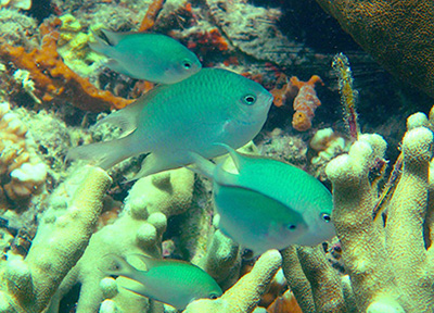 New damselfish shows rare parental care behavior
