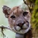 Photo of mountain lion in a tree