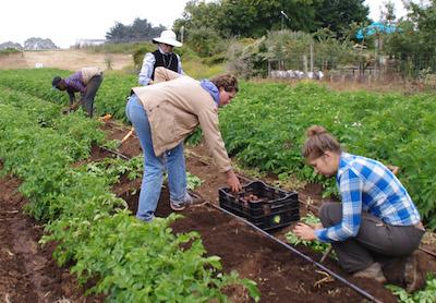 Apprentices planting potatoes