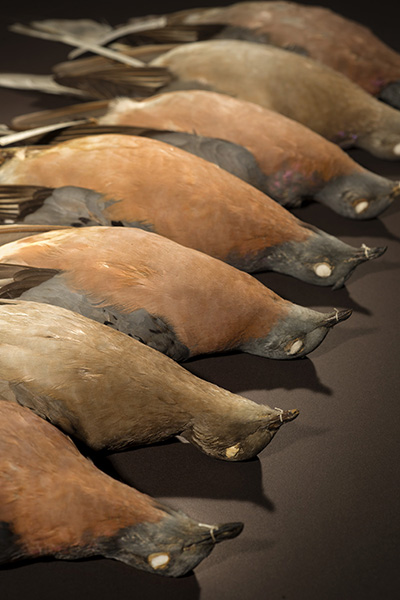 analysis the slaughter of the pigeons The passenger pigeon or wild pigeon (ectopistes migratorius) is an extinct species of pigeon that was endemic to north americaits common name is derived from the french word passager, meaning passing by, due to the migratory habits of the species.