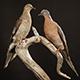 passenger pigeons mounted pair