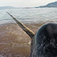 narwhals in sea ice