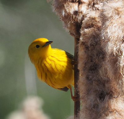 how birds genes influence adaptation to climate change