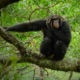 Photo of a chimpanzee in the forest