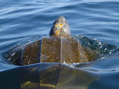 Leatherback turtles.
