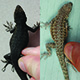 different lizard colorations