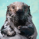 sea otter Selka