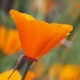 Close-up photo of California poppy