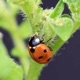 Close-up photo of a lady beetle eating aphids on a potato plant