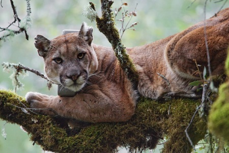 A puma lounging in a tree wearing a tracking collar.