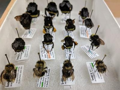 bumblebees-400.jpg