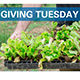 """Giving Tuesday"" hand lifting lettuce starts"