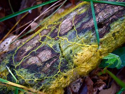 physarum-polycephalum-400.jpg