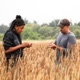 Two people examining grain in the wheat field at UCSC