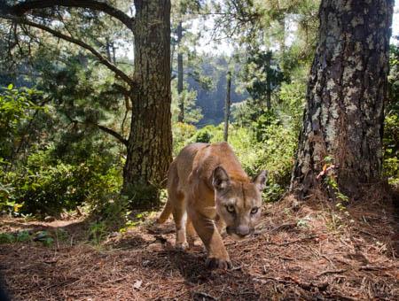 puma-forest-450.jpg