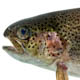 A closeup view of a rainbow trout's head and fins