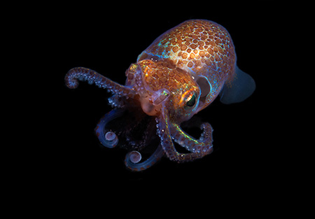A little squid and its glowing bacteria yield new clues to symbiotic  relationships