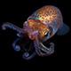 Hawaiian bobtail squid