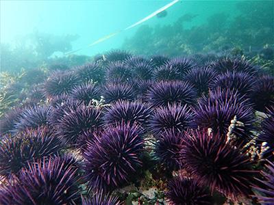 urchin-barren-400.jpg