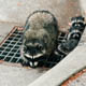 A mother raccoon and babies emerging from a storm drain.