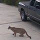 A puma crouching next to a car in a driveway