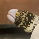 A snowflake moray eel underwater inside a research tank