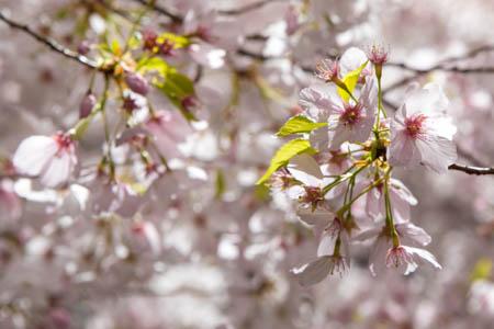 blossoms_450.jpg